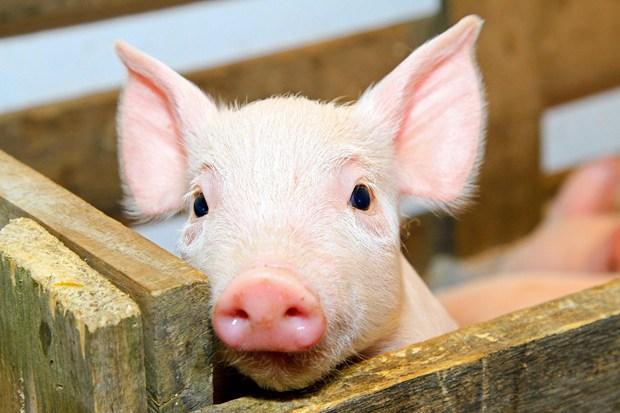свинья