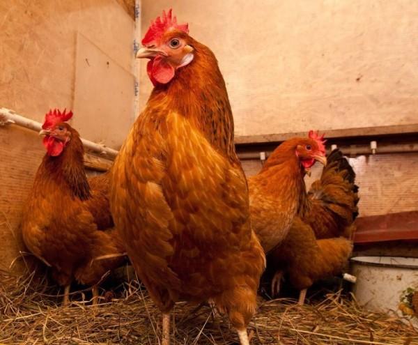 Страны Аравийского полуострова и КНР запретили экспорт украинской птицы