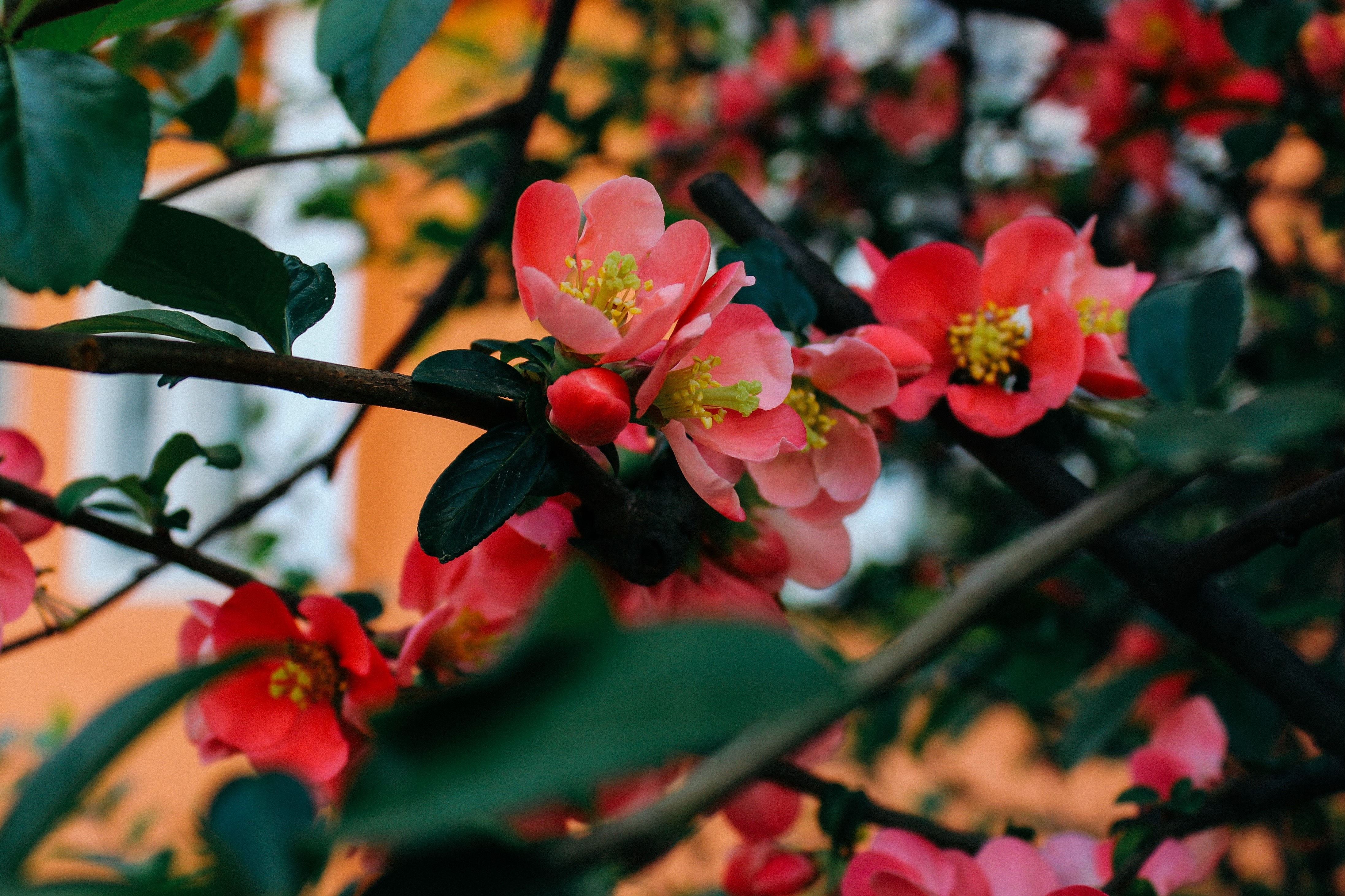 цвет дерева