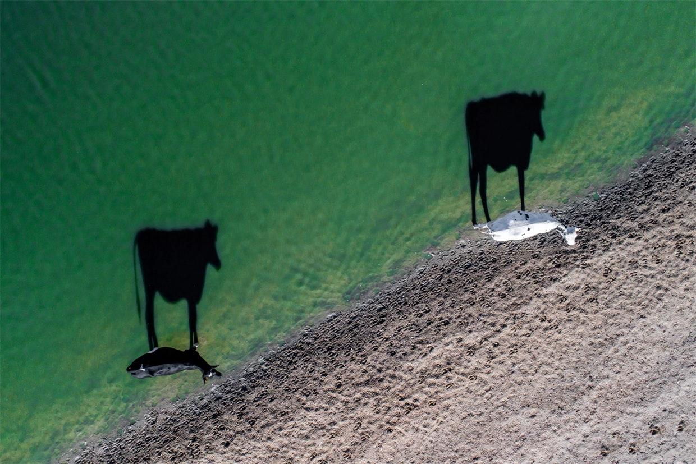 коровы дрон