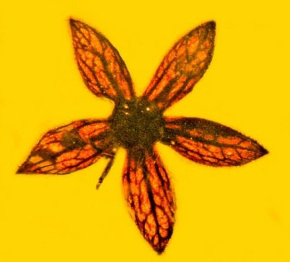 Палеонтологи обнаружили вянтаре цветы возрастом 100 млн лет