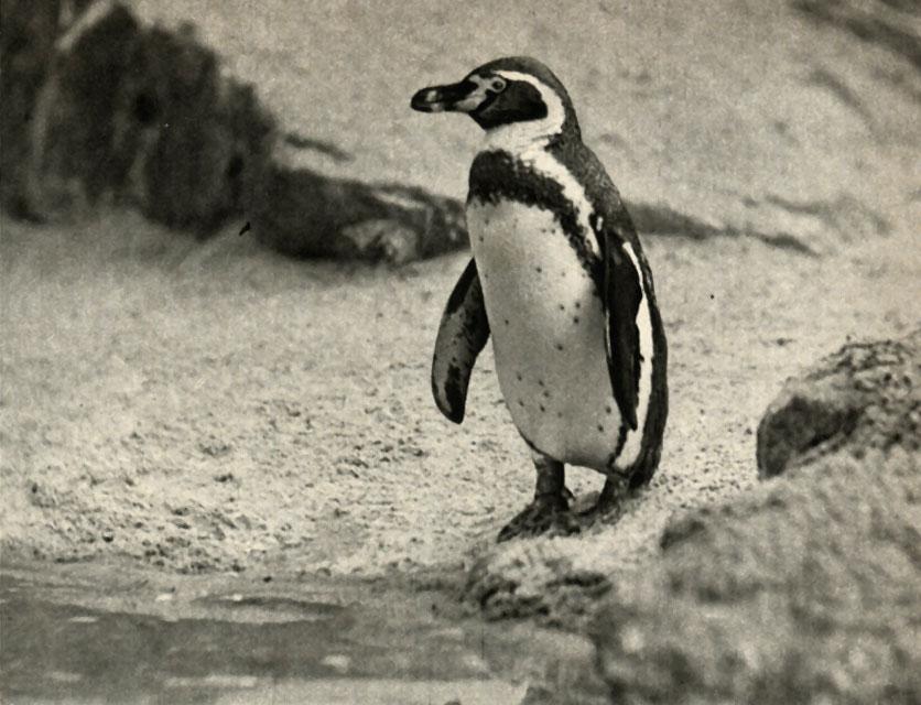 ВЧили ради спасения пингвинов отказались отразработки месторождений