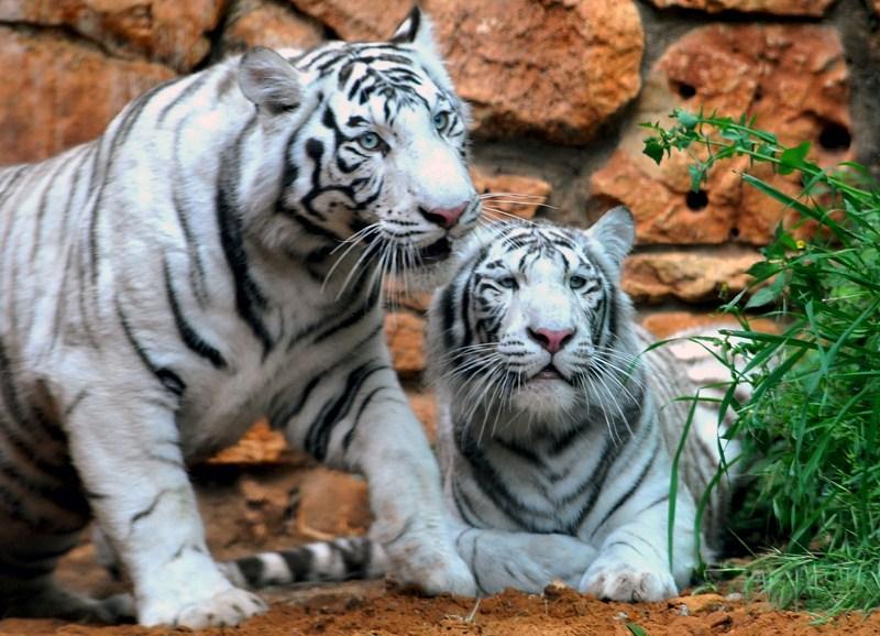 зоопарк, белые тигры