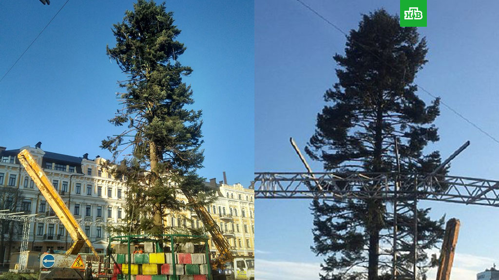 лысая елка