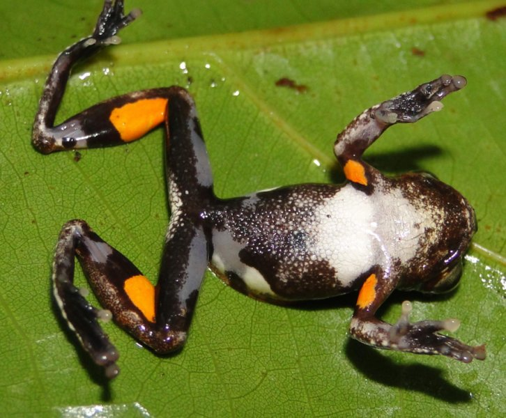 Жаба Кубрика