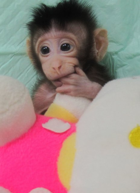 клонированная обезьяна