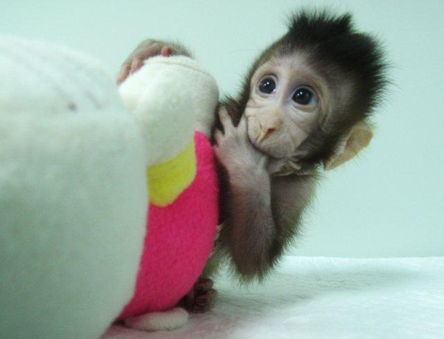 обезьяна из Китая
