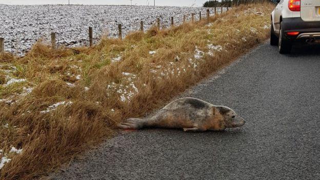 тюлень в Шотландии