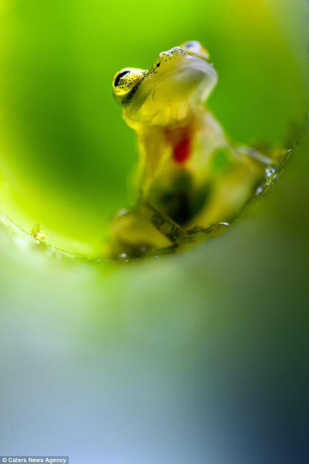 прозрачные жабы