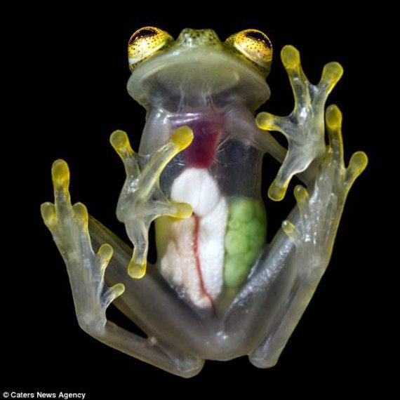 стеклянные жабы