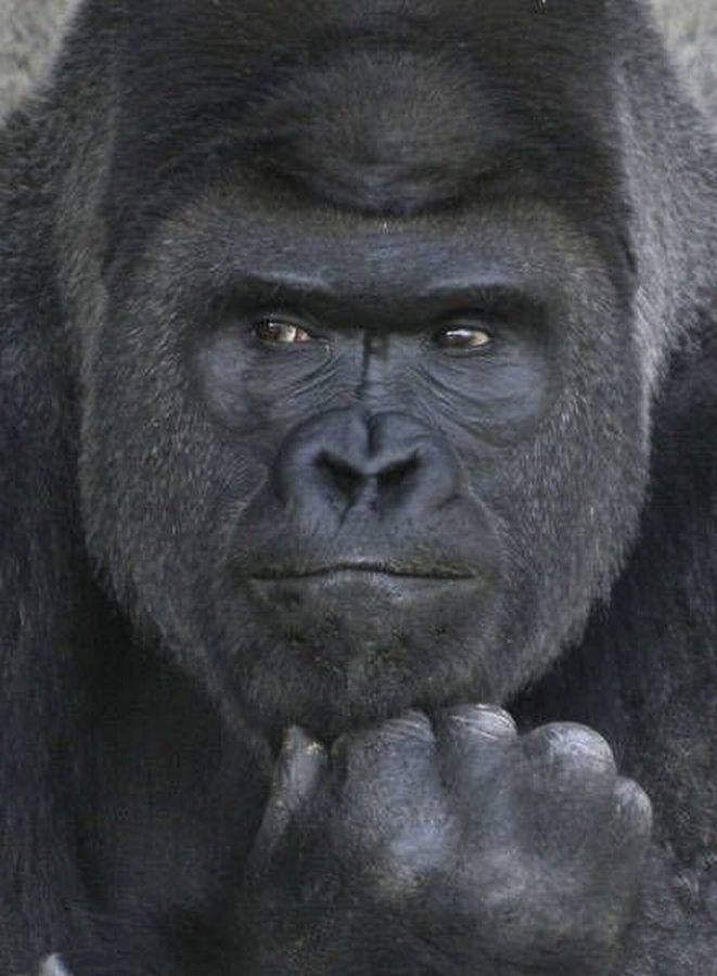 фотогеничная горилла