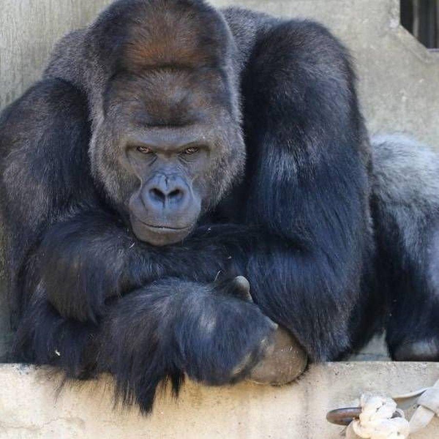 киото горилла