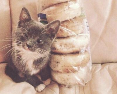 кошка Бейгл