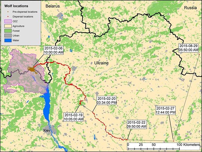 карта миграции волков