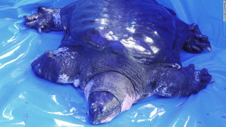черепаха Янцзы