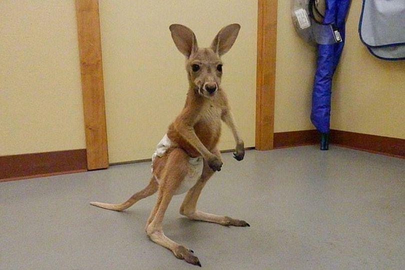 кенгуру в памерсах