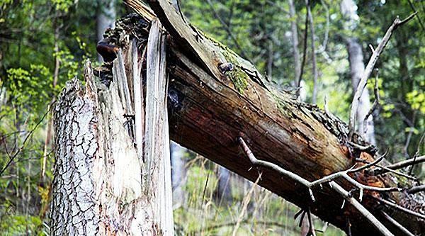 поваленное дерево.