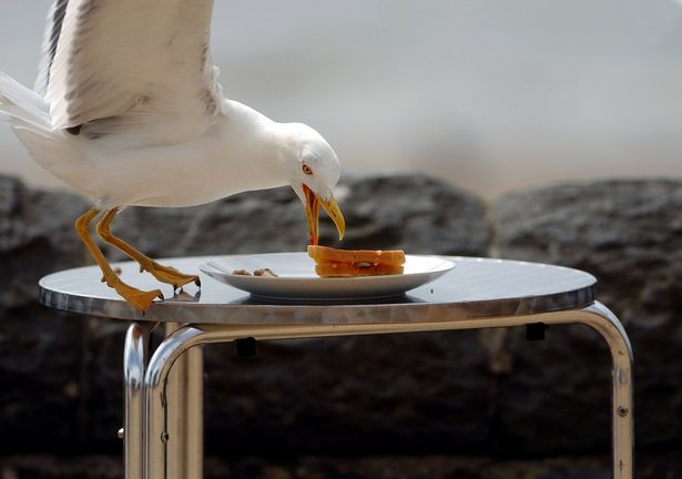 чайка и еда