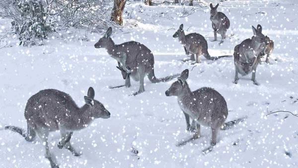 кенгуру на снегу