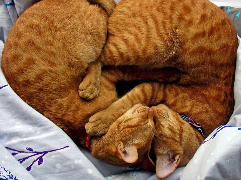 коты клоны