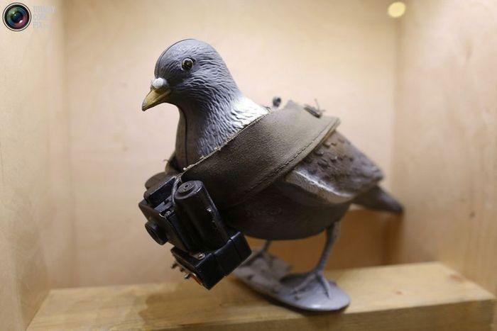 голубь-шпион