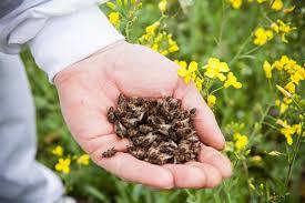 мор пчёл