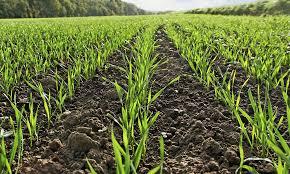 Заморозки и засуха в Украине негативно повлияют на урожай