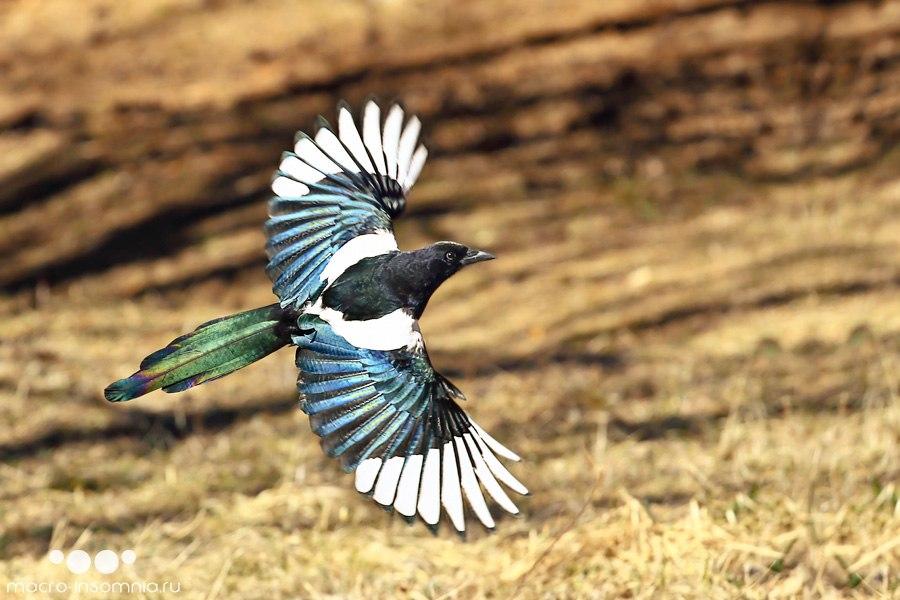 птица сорока летит