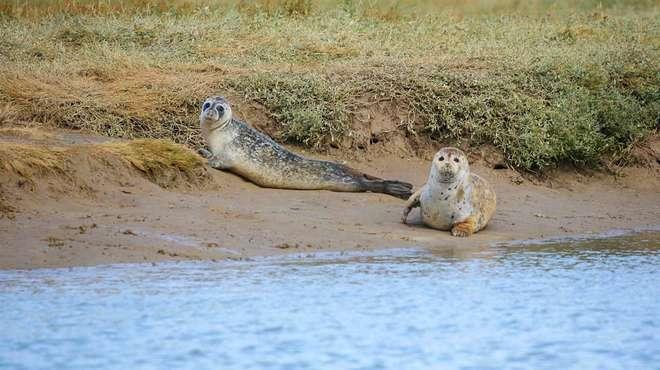 тюлене в Темзе