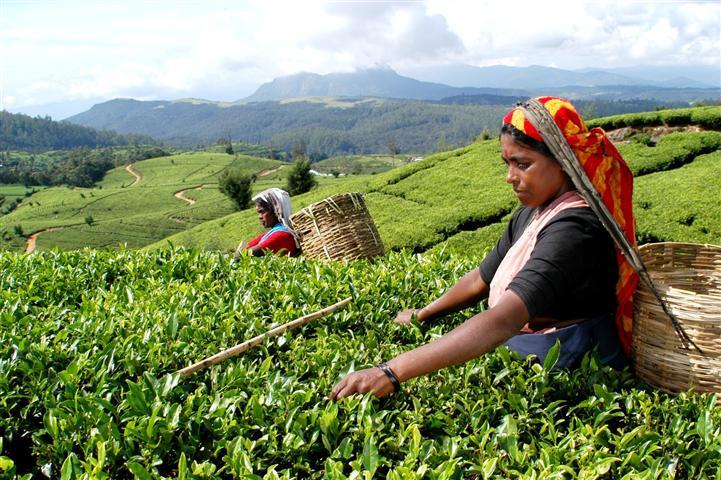 Мир может остаться без индийского чая из-за COVID-19