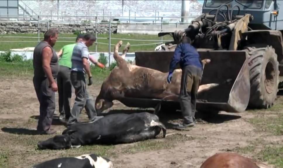 отравление коров