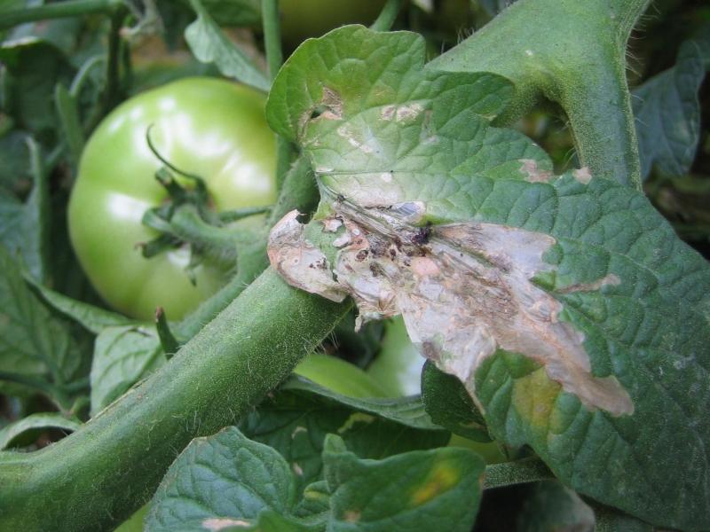 томатная моль