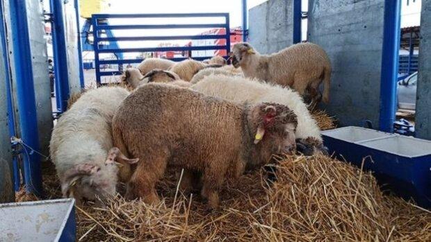 овцы румыния.