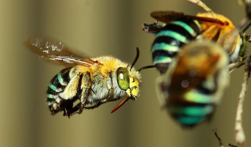 австралийские пчёлы