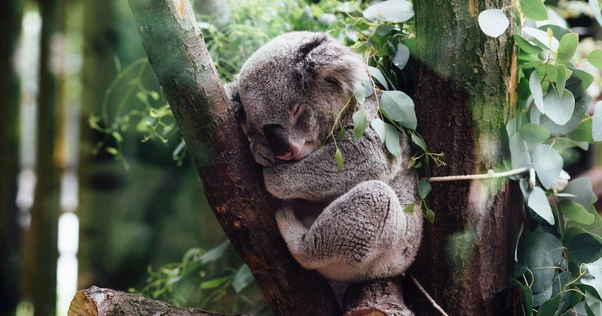 коалы.