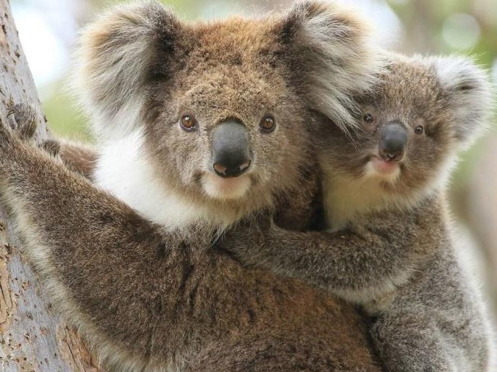 коалы пожары