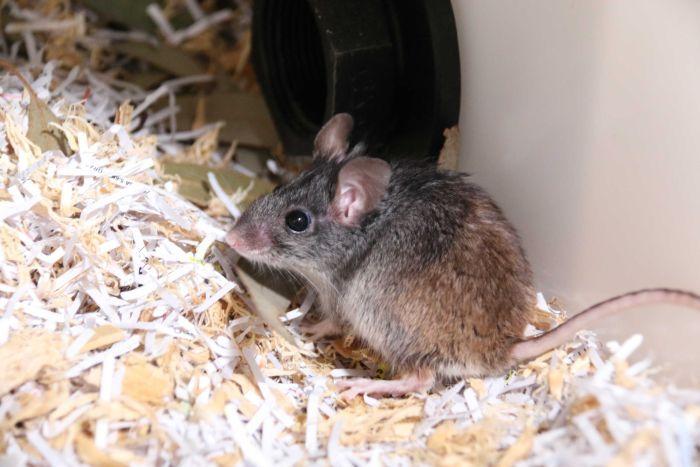 дымчатая австралийская мышь