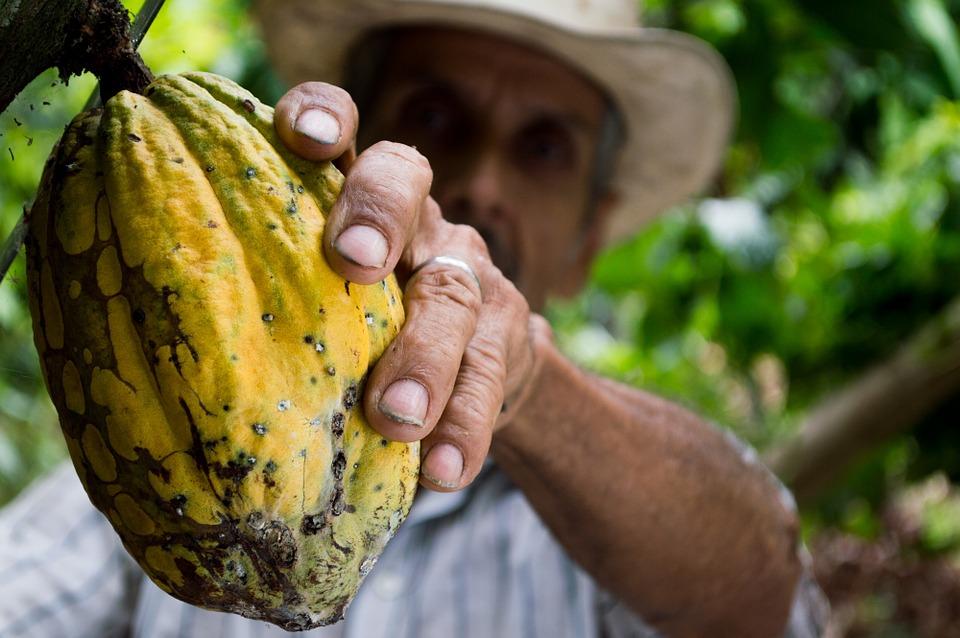 Шоколад под угрозой: в Африке засуха уничтожает урожаи какао-бобов