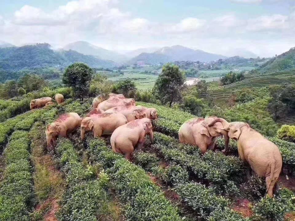 В Китае слоны ворвались в селение и допьяна напились кукурузным вином