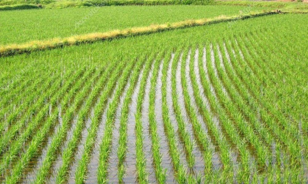 плантации риса