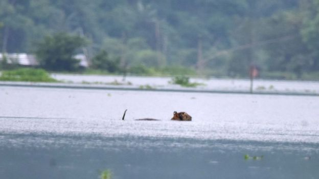 тигр наводнение