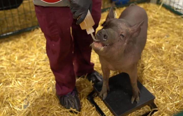 чипированная свинья