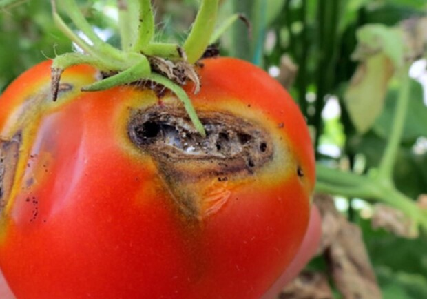 помидоры моль
