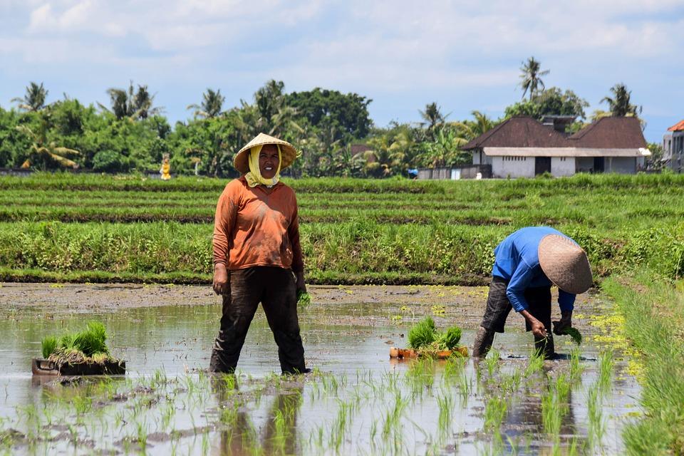 сельское хозяйство Бали