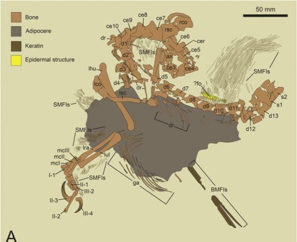 скелет нового динозавра