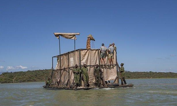 В Кении спасают редчайших жирафов, оказавшихся в беде