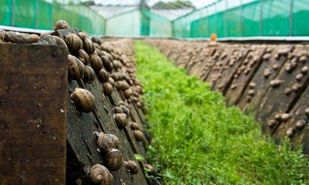 улиточные фермы