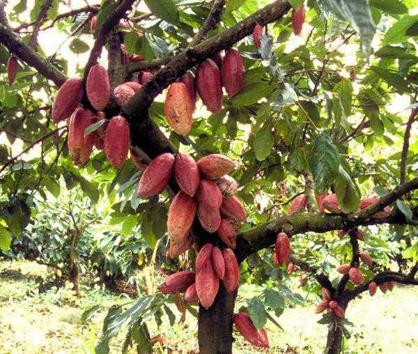 деревья какао