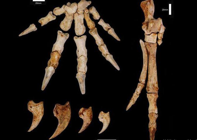 конечности кенгуру