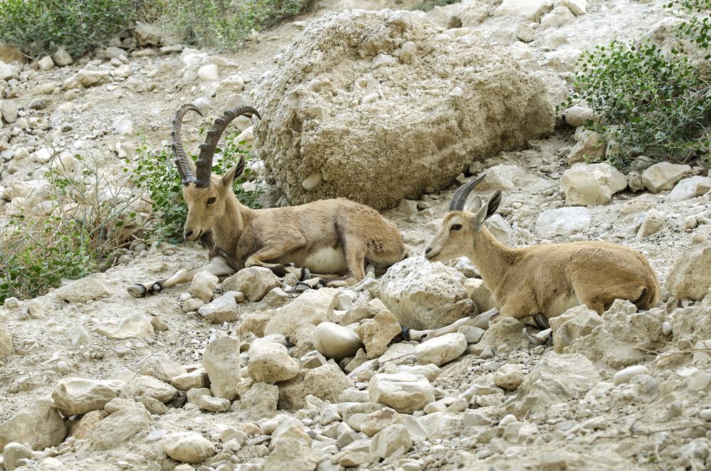 нубийские козлы